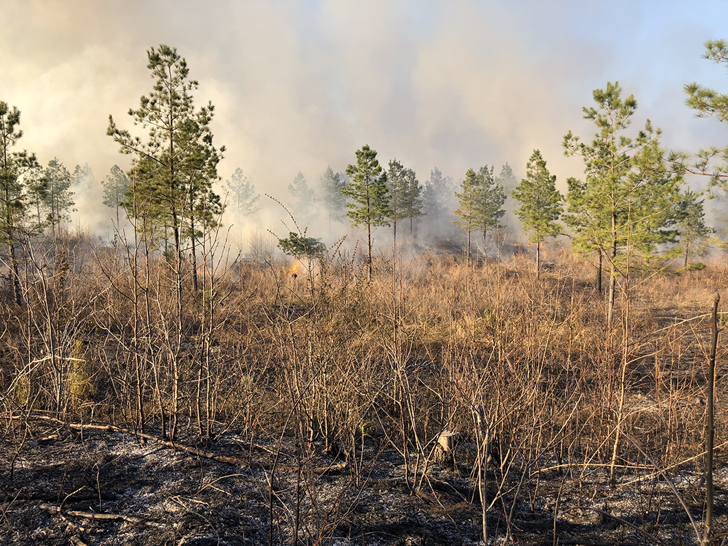 Doing a prescribed burn to help an endangered plant called Shumack.